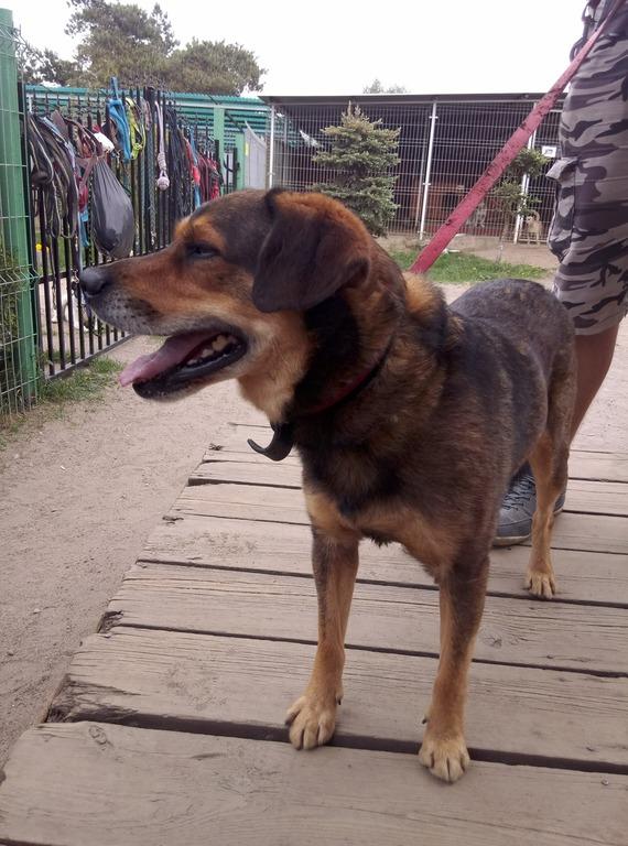 Szukamy właściciela psa znalezionego na terenie gminy Władysławowo (link otworzy duże zdjęcie)