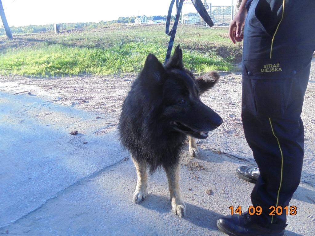 Znaleziona psa we Władysławowie (link otworzy duże zdjęcie)