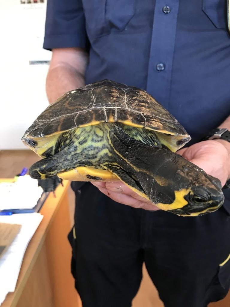Znaleziono żółwia wodnego (link otworzy duże zdjęcie)