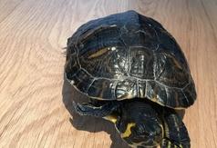 Znaleziono żółwia wodnego