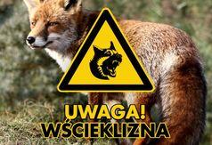 Uwaga wścieklizna zdjęcie z lisem