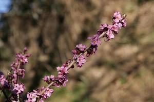 Obsypana kwiatami gałązka wawrzynka wilczegołyka z lasu w Kobyli [300x200]
