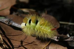 Gąsienica szczotecznicy szarawki [300x200]