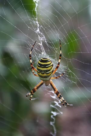 pająk tygrzyk paskowany [300x450]