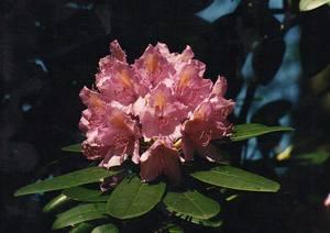 Kwiatostan rododendrona katawbijskiego [300x212]