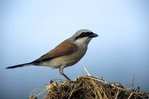 Ptak Dzierzba gąsiorek [300x199]
