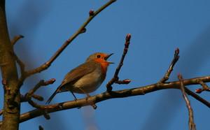 Ptak Rudzik [300x186]