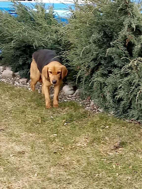 Pies (link otworzy duże zdjęcie)